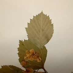 Leaves: Crataegus cyclophylla. ~ By Arthur Haines. ~ Copyright © 2020. ~ arthurhaines[at]wildblue.net