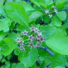 Flowers: Crataegus dodgei. ~ By Arthur Haines. ~ Copyright © 2020. ~ arthurhaines[at]wildblue.net