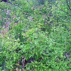 Plant form: Crataegus dodgei. ~ By Arthur Haines. ~ Copyright © 2020. ~ arthurhaines[at]wildblue.net