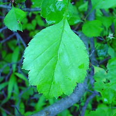 Leaves: Crataegus dodgei. ~ By Arthur Haines. ~ Copyright © 2020. ~ arthurhaines[at]wildblue.net