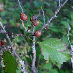 Fruits: Crataegus flabellata. ~ By Arthur Haines. ~ Copyright © 2020. ~ arthurhaines[at]wildblue.net