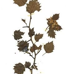Plant form: Crataegus flabellata. ~ By Missouri Botanical Garden. ~ Copyright © 2020 CC-BY-NC-SA. ~  ~ Tropicos, Missouri Botanical Garden - www.tropicos.org
