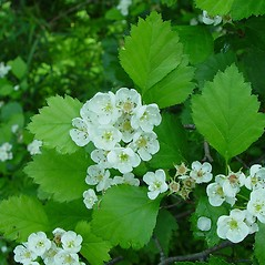 Plant form: Crataegus flavida. ~ By Arthur Haines. ~ Copyright © 2020. ~ arthurhaines[at]wildblue.net