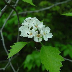 Flowers: Crataegus fluviatilis. ~ By Arthur Haines. ~ Copyright © 2021 Arthur Haines. ~ arthur.d.haines[at]gmail.com