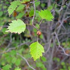 Fruits: Crataegus fluviatilis. ~ By Arthur Haines. ~ Copyright © 2021 Arthur Haines. ~ arthur.d.haines[at]gmail.com