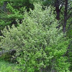 Plant form: Crataegus fluviatilis. ~ By Arthur Haines. ~ Copyright © 2021 Arthur Haines. ~ arthur.d.haines[at]gmail.com
