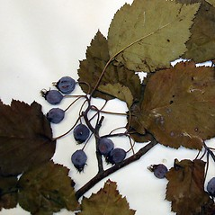 Fruits: Crataegus forbesae. ~ By Arthur Haines. ~ Copyright © 2021. ~ arthurhaines[at]wildblue.net