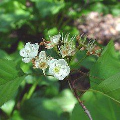 Flowers: Crataegus holmesiana. ~ By Arthur Haines. ~ Copyright © 2021. ~ arthurhaines[at]wildblue.net