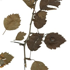 Plant form: Crataegus holmesiana. ~ By Missouri Botanical Garden. ~ Copyright © 2019 CC-BY-NC-SA. ~  ~ Tropicos, Missouri Botanical Garden - www.tropicos.org