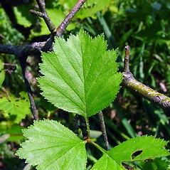 Leaves: Crataegus irrasa. ~ By Arthur Haines. ~ Copyright © 2020. ~ arthurhaines[at]wildblue.net