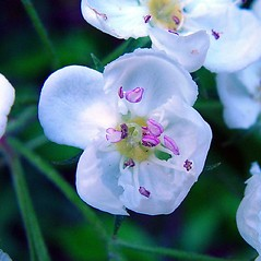 Flowers: Crataegus jonesiae. ~ By Arthur Haines. ~ Copyright © 2020. ~ arthurhaines[at]wildblue.net