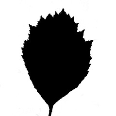 Leaves: Crataegus jonesiae. ~ By Arthur Haines. ~ Copyright © 2020. ~ arthurhaines[at]wildblue.net