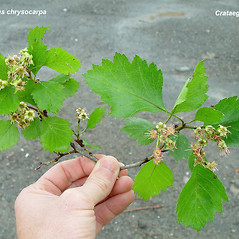 Comparison: Crataegus keepii. ~  ~ Copyright © 2021. ~