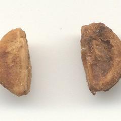 Comparison: Crataegus macracantha. ~ By Arthur Haines. ~ Copyright © 2021. ~ arthurhaines[at]wildblue.net