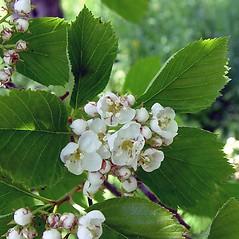 Flowers: Crataegus macracantha. ~ By Arthur Haines. ~ Copyright © 2021. ~ arthurhaines[at]wildblue.net