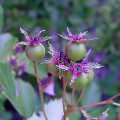 Fruits: Crataegus macracantha. ~ By Arthur Haines. ~ Copyright © 2021. ~ arthurhaines[at]wildblue.net