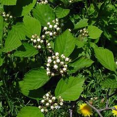 Plant form: Crataegus macracantha. ~ By Arthur Haines. ~ Copyright © 2021. ~ arthurhaines[at]wildblue.net