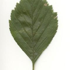 Leaves: Crataegus macracantha. ~ By Arthur Haines. ~ Copyright © 2021. ~ arthurhaines[at]wildblue.net