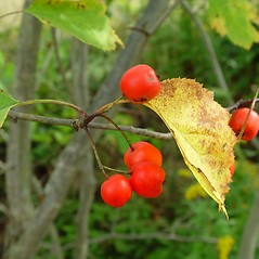 Fruits: Crataegus macrosperma. ~ By Arthur Haines. ~ Copyright © 2021. ~ arthurhaines[at]wildblue.net
