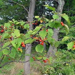 Plant form: Crataegus macrosperma. ~ By Arthur Haines. ~ Copyright © 2021. ~ arthurhaines[at]wildblue.net