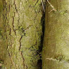 Bark: Crataegus monogyna. ~ By Ben Legler. ~ Copyright © 2021 Ben Legler. ~ mountainmarmot[at]hotmail.com ~ U. of Washington - WTU - Herbarium - biology.burke.washington.edu/herbarium/imagecollection.php