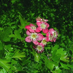 Flowers: Crataegus monogyna. ~ By Arthur Haines. ~ Copyright © 2021. ~ arthurhaines[at]wildblue.net