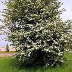 Plant form: Crataegus monogyna. ~ By Charles Brun. ~ Copyright © 2021. ~ brunc[at]wsu.edu ~ Pacific Northwest Plants - www.pnwplants.wsu.edu/
