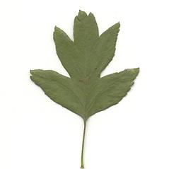 Leaves: Crataegus monogyna. ~ By Arthur Haines. ~ Copyright © 2020. ~ arthurhaines[at]wildblue.net