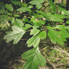 Leaves: Crataegus monogyna. ~ By Glen Mittelhauser. ~ Copyright © 2020 Glen Mittelhauser. ~ www.mainenaturalhistory.org