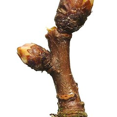 Winter buds: Crataegus monogyna. ~ By Ben Legler. ~ Copyright © 2020 Ben Legler. ~ mountainmarmot[at]hotmail.com ~ U. of Washington - WTU - Herbarium - biology.burke.washington.edu/herbarium/imagecollection.php
