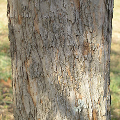 Bark: Crataegus populnea. ~ By Bruce Patterson. ~ Copyright © 2020 Bruce Patterson. ~ foxpatterson[at]comcast.net