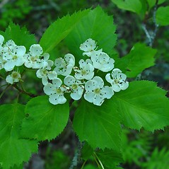 Flowers: Crataegus populnea. ~ By Arthur Haines. ~ Copyright © 2021. ~ arthurhaines[at]wildblue.net