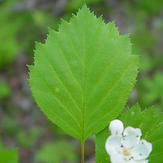 Leaves: Crataegus populnea. ~ By Arthur Haines. ~ Copyright © 2020. ~ arthurhaines[at]wildblue.net