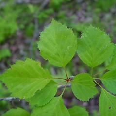 Leaves: Crataegus populnea. ~ By Arthur Haines. ~ Copyright © 2021. ~ arthurhaines[at]wildblue.net