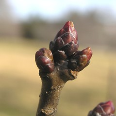 Winter buds: Crataegus populnea. ~ By Bruce Patterson. ~ Copyright © 2021 Bruce Patterson. ~ foxpatterson[at]comcast.net