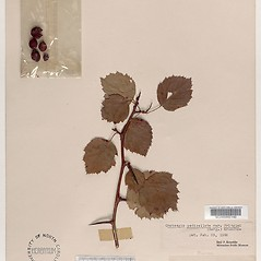 Plant form: Crataegus pringlei. ~ By Arthur Haines. ~ Copyright © 2020. ~ arthurhaines[at]wildblue.net