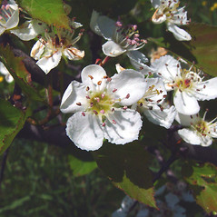 Flowers: Crataegus pruinosa. ~ By Arthur Haines. ~ Copyright © 2020. ~ arthurhaines[at]wildblue.net