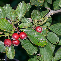 Fruits: Crataegus punctata. ~ By Will Cook. ~ Copyright © 2020 Will Cook. ~ cwcook[at]duke.edu, carolinanature.com ~ North Carolina Plant Photos - www.carolinanature.com/plants/