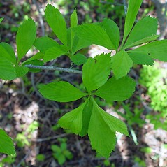 Leaves: Crataegus punctata. ~ By Arthur Haines. ~ Copyright © 2020. ~ arthurhaines[at]wildblue.net