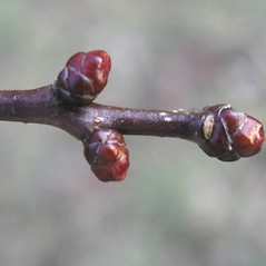 Winter buds: Crataegus scabrida. ~ By Bruce Patterson. ~ Copyright © 2020 Bruce Patterson. ~ foxpatterson[at]comcast.net