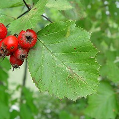 Fruits: Crataegus submollis. ~ By Arthur Haines. ~ Copyright © 2020. ~ arthurhaines[at]wildblue.net