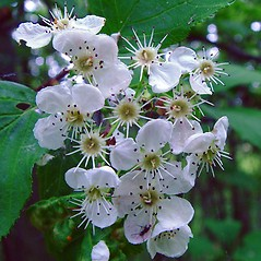 Flowers: Crataegus succulenta. ~ By Arthur Haines. ~ Copyright © 2021. ~ arthurhaines[at]wildblue.net