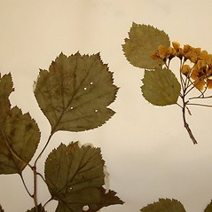 Leaves: Crataegus umbratilis. ~ By Arthur Haines. ~ Copyright © 2021. ~ arthurhaines[at]wildblue.net