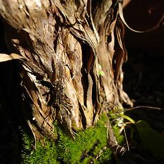 Bark: Dasiphora floribunda. ~ By Jill Weber. ~ Copyright © 2021 Jill Weber. ~ jillweber03[at]gmail.com