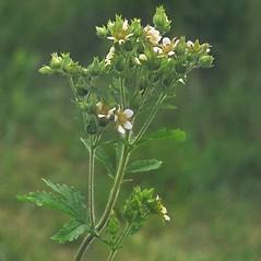 Plant form: Drymocallis arguta. ~ By Arieh Tal. ~ Copyright © 2021 Arieh Tal. ~ www.nttlphoto.com ~ Arieh Tal - www.nttlphoto.com
