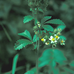 Plant form: Drymocallis arguta. ~ By Jean Baxter. ~ Copyright © 2020 New England Wild Flower Society. ~ Image Request, images[at]newenglandwild.org