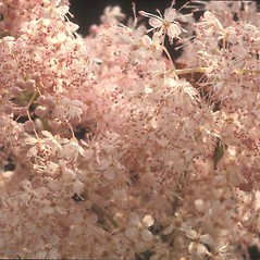 Flowers: Filipendula rubra. ~ By Albert Bussewitz. ~ Copyright © 2020 New England Wild Flower Society. ~ Image Request, images[at]newenglandwild.org