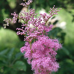 Flowers: Filipendula rubra. ~ By Tom Warhol. ~ Copyright © 2021 Tom Warhol. ~ No permission needed for non-commercial uses, with proper credit