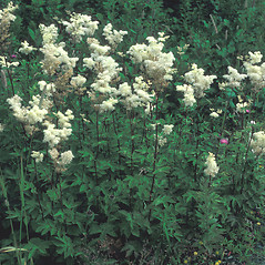 Plant form: Filipendula ulmaria. ~ By Mary Walker. ~ Copyright © 2020 New England Wild Flower Society. ~ Image Request, images[at]newenglandwild.org