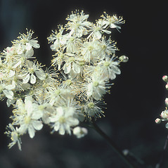 Flowers: Filipendula vulgaris. ~ By John Lynch. ~ Copyright © 2021 New England Wild Flower Society. ~ Image Request, images[at]newenglandwild.org